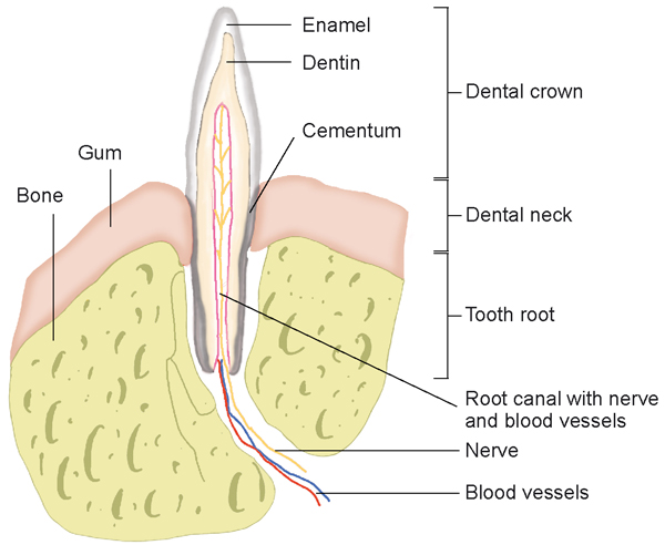 Tooth root abscess enpevet abb ggugzhjn schematic illustration of the canine tooth its roots gum and jaw bone ccuart Images