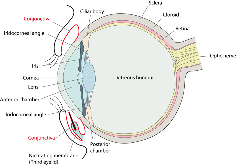 Conjunctivitis enpevet abb ggt8qlf2 schematic illustration of the eye side view ccuart Choice Image